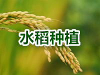 "<a href=""http://www.hengzhixin.cn/rice-planting"" rel="